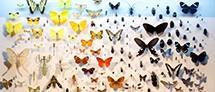 אוסף פרפרים